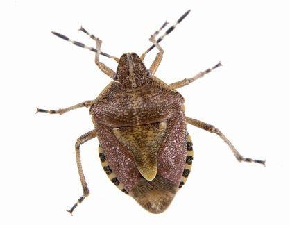 カメムシ 食中毒 中国 医者 レストラン 虫 昆虫に関連した画像-01