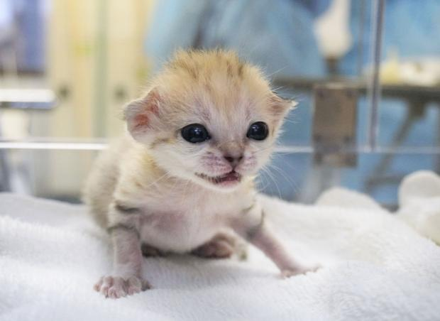 スナネコ 動物園 赤ちゃん 日本初に関連した画像-03