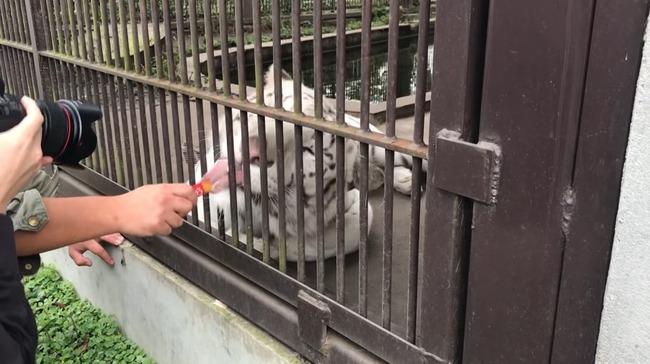 ちゅ〜る ライオン トラに関連した画像-03
