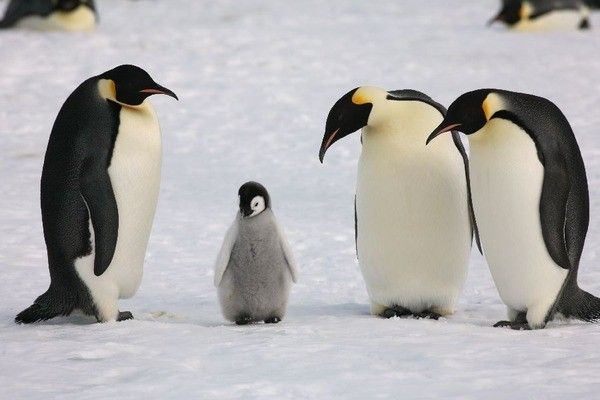 氷 滑らない 歩く ペンギンに関連した画像-01