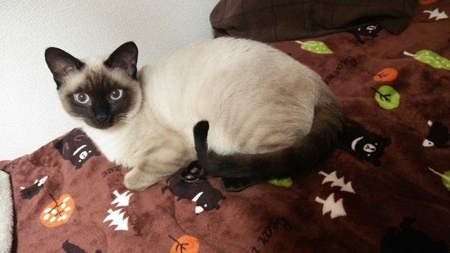 猫 シャム タイに関連した画像-04