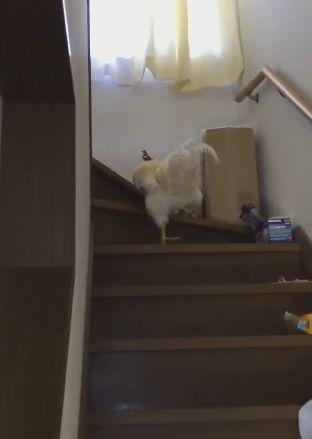 ニワトリ 息子 起こす 階段に関連した画像-02