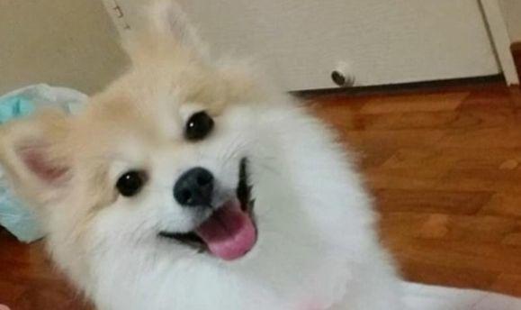 ポメラニアン ペット 柴犬 美容師 失敗に関連した画像-01