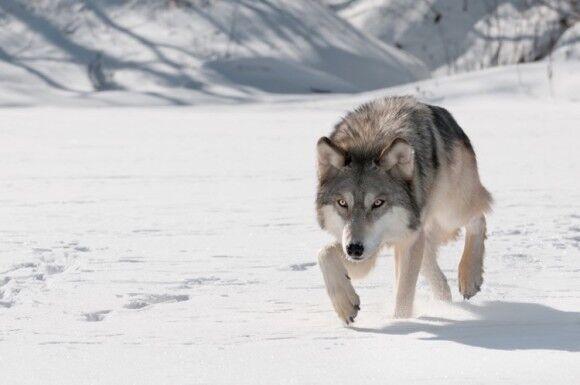オオカミ 絶滅危惧種 交尾 孤独に関連した画像-01