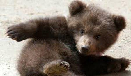 熊の胆のうに関連した画像