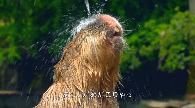 大塚明夫 声優 BL カピバラさん 動画 Youtube LIXIL MADEに関連した画像-05