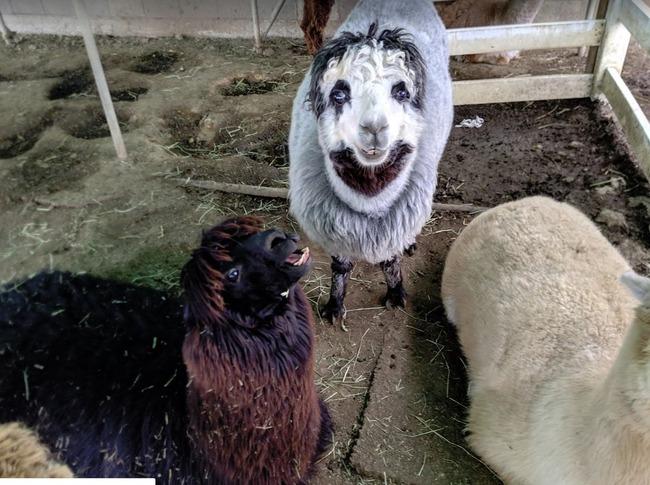 羊 写真 不気味に関連した画像-03