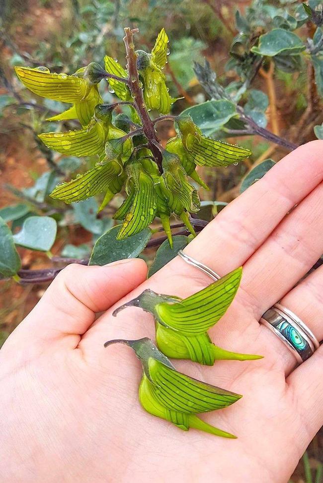 オーストラリア 花 ハチドリに関連した画像-02