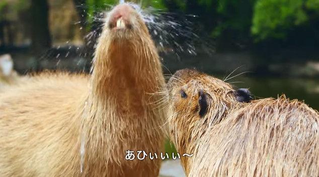 大塚明夫 声優 BL カピバラさん 動画 Youtube LIXIL MADEに関連した画像-09