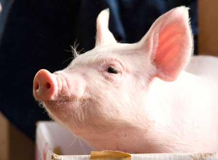 ミニブタ ペット 豚 カナダ 巨大化 肥満に関連した画像-01