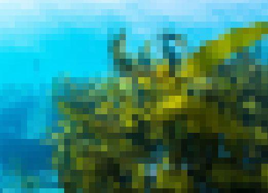 世界 侵略的外来種 外来種 ワースト ヒアリ ワカメ コイ 味噌汁 海藻に関連した画像-01