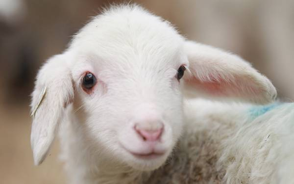 羊 写真に関連した画像-01