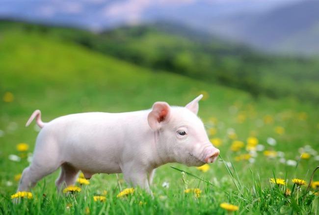 豚 人工ベーコン 培養に関連した画像-01