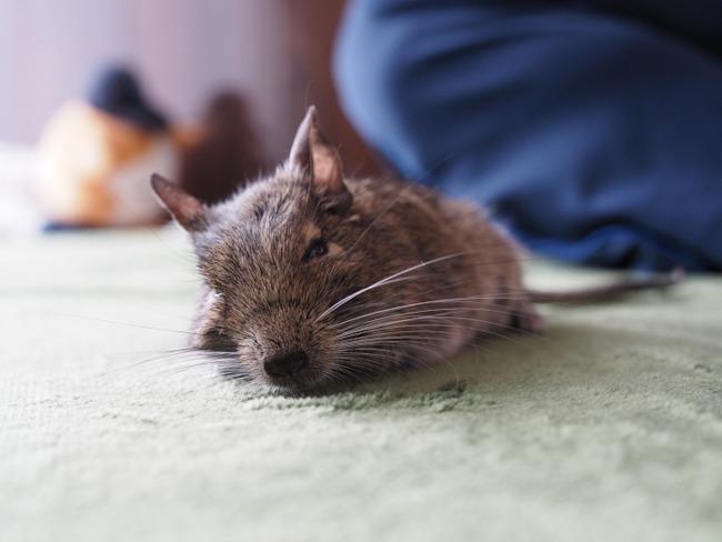 牛沢 デグー こむぎくん 死去 訃報に関連した画像-04