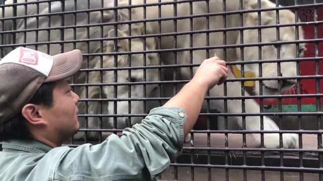 ちゅ〜る ライオン トラに関連した画像-13