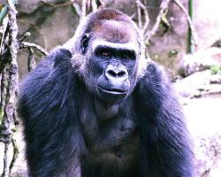 ゴリラ ハランベ 射殺 ニシローランドゴリラ 動物園に関連した画像-03