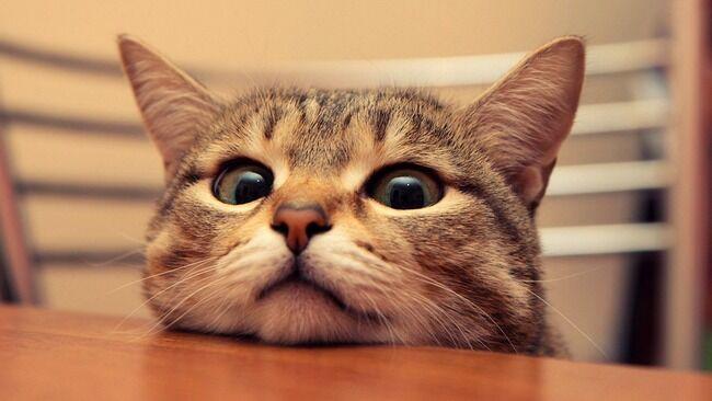 ネコ 猫 人間 ニャー 鳴く 理由 原因 家畜 エサに関連した画像-01