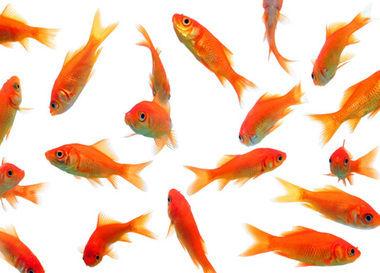 野生化 金魚 厄介 巨大化 繁殖に関連した画像-01