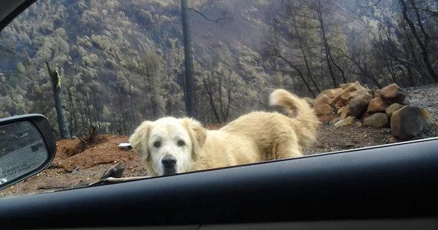 山火事 ペット 犬に関連した画像-04