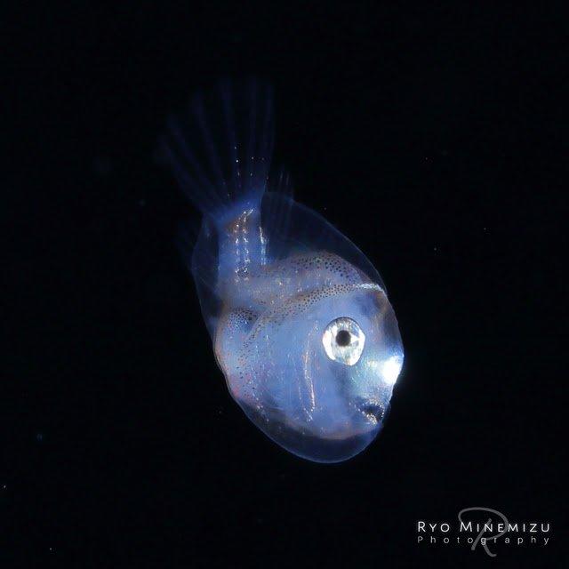 マグロ チョウチンアンコウ 幼魚に関連した画像-05