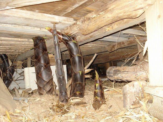 イギリス 竹 ブームに関連した画像-04