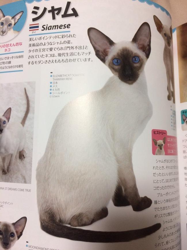 猫 シャム タイに関連した画像-02