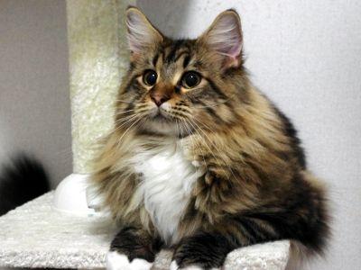 猫 自閉症 イギリス メインクーン 絵画 ネコに関連した画像-01