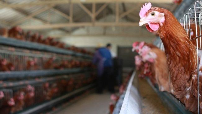 中国 ニワトリ 鳥インフルエンザ に関連した画像-01