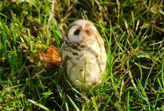 フクロウ キノコ 見間違い 擬態に関連した画像-03