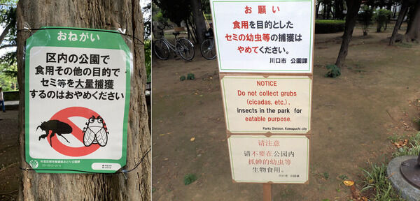 杉並区 公園 セミ 食用 乱獲に関連した画像-03