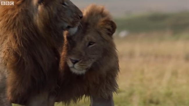 雄ライオン ハイエナ 20頭に関連した画像-10