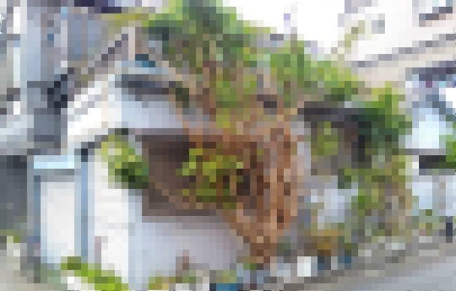 鉢植え カポック デカすぎに関連した画像-01