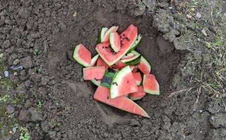 スイカ 庭 埋める 育つに関連した画像-01