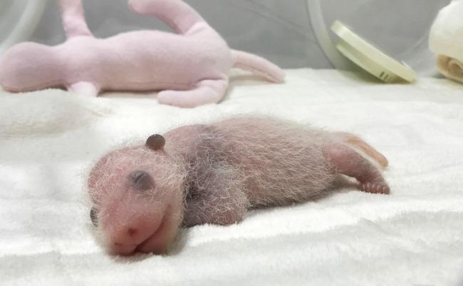 パンダの赤ちゃん 小さい なぜに関連した画像-01