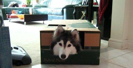 猫に育てられた犬 ハスキーに関連した画像-01