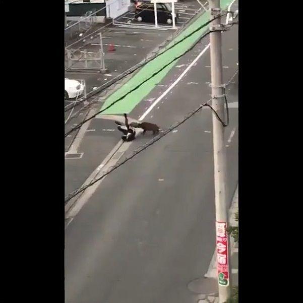 イノシシ サラリーマン 突進に関連した画像-09