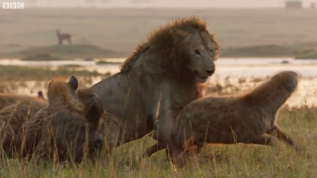 雄ライオン ハイエナ 20頭に関連した画像-04
