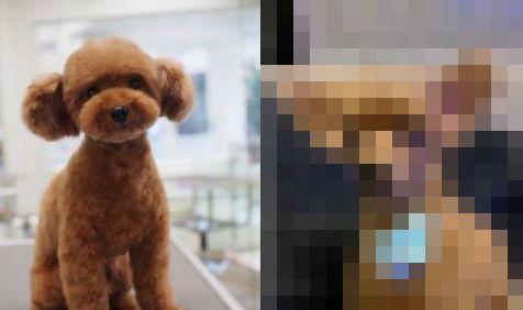 犬 トリミング 顔 剃る 軽いノリ OK アリクイに関連した画像-01