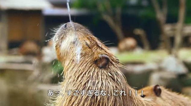 大塚明夫 声優 BL カピバラさん 動画 Youtube LIXIL MADEに関連した画像-06