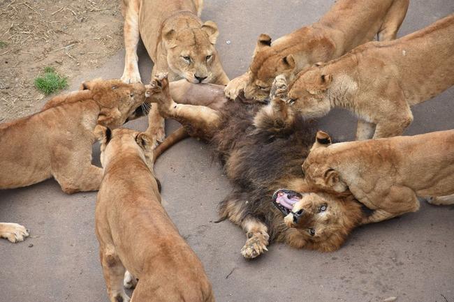 多摩動物公園 オスライオン フルボッコに関連した画像-04