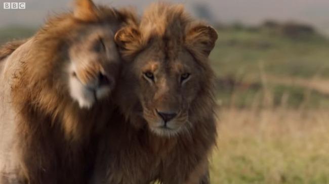 雄ライオン ハイエナ 20頭に関連した画像-12