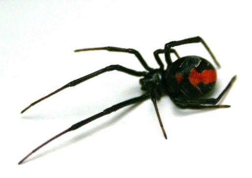 セアカゴケグモ ポスター 保健所 名古屋 害虫に関連した画像-01