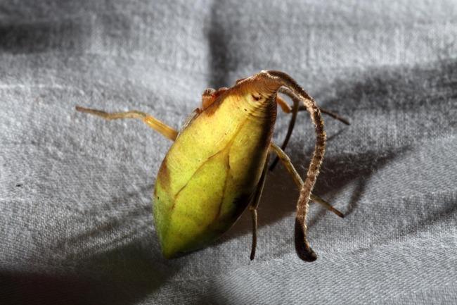 エイリアン 蜘蛛 新種 擬態に関連した画像-05