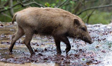 boar008
