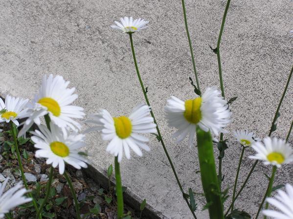 福島 花 帯化 放射能 ツイッター 奇形に関連した画像-03