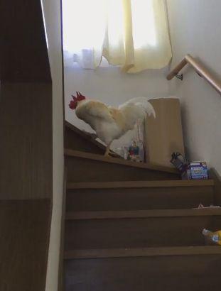 ニワトリ 息子 起こす 階段に関連した画像-03