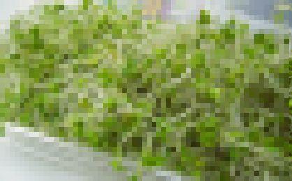 スーパースプラウト ブロッコリー モヤシに関連した画像-01