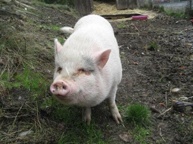 豚 動物虐待防止協会 カナダ ベーコン ペットに関連した画像-03