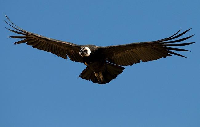 コンドル 地上 動物 鳥類に関連した画像-01
