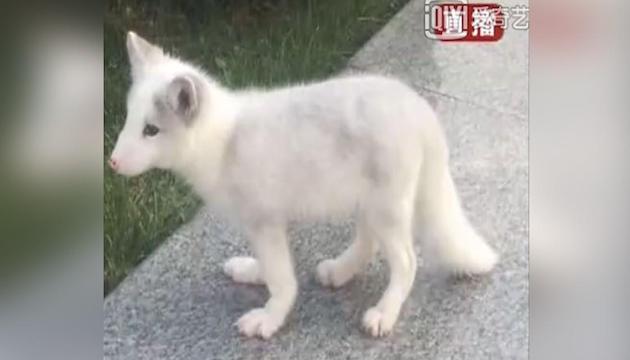 中国 子犬 キツネに関連した画像-04